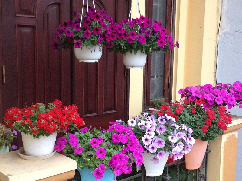 lan canchậu hoa